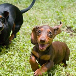 HillCountry Dachshunds - 15 Photos - Pets - Marble Falls, TX - Phone