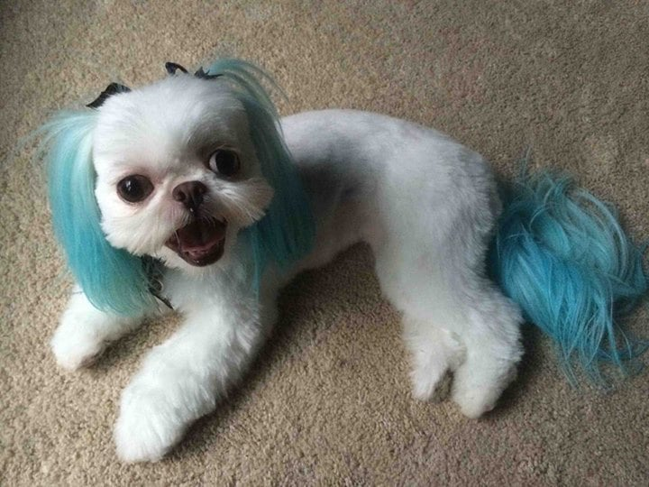 This Is My Favorite Haircut On My Shih Tzu Done By Roberto Korean