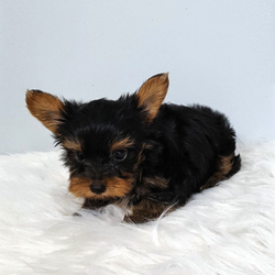 Yorkies of South Georgia - Request a Quote - 17 Photos - Pet