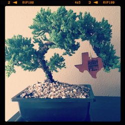 Photo Of Sunshine Miniature Trees Dallas Tx United States Juniper