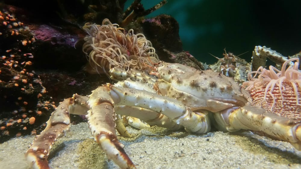 Birch Aquarium Alaskan Crab Yelp
