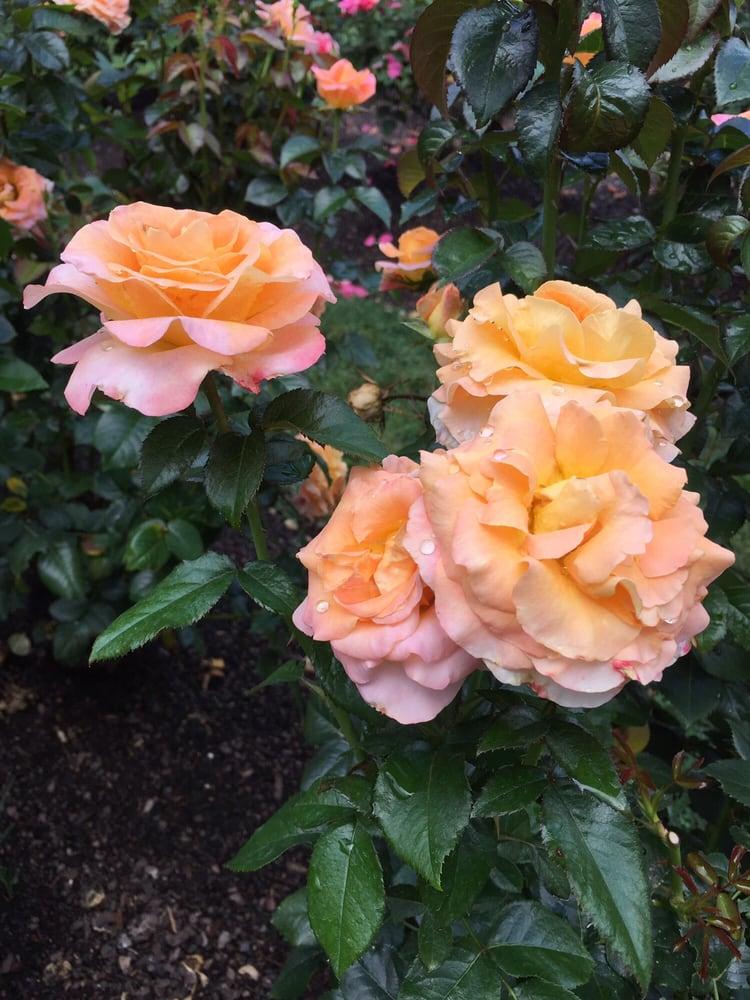 Fotos De Raleigh Little Theatre Rose Garden Yelp