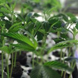 Top 10 Best Cannabis Clones in San Fernando Valley, CA