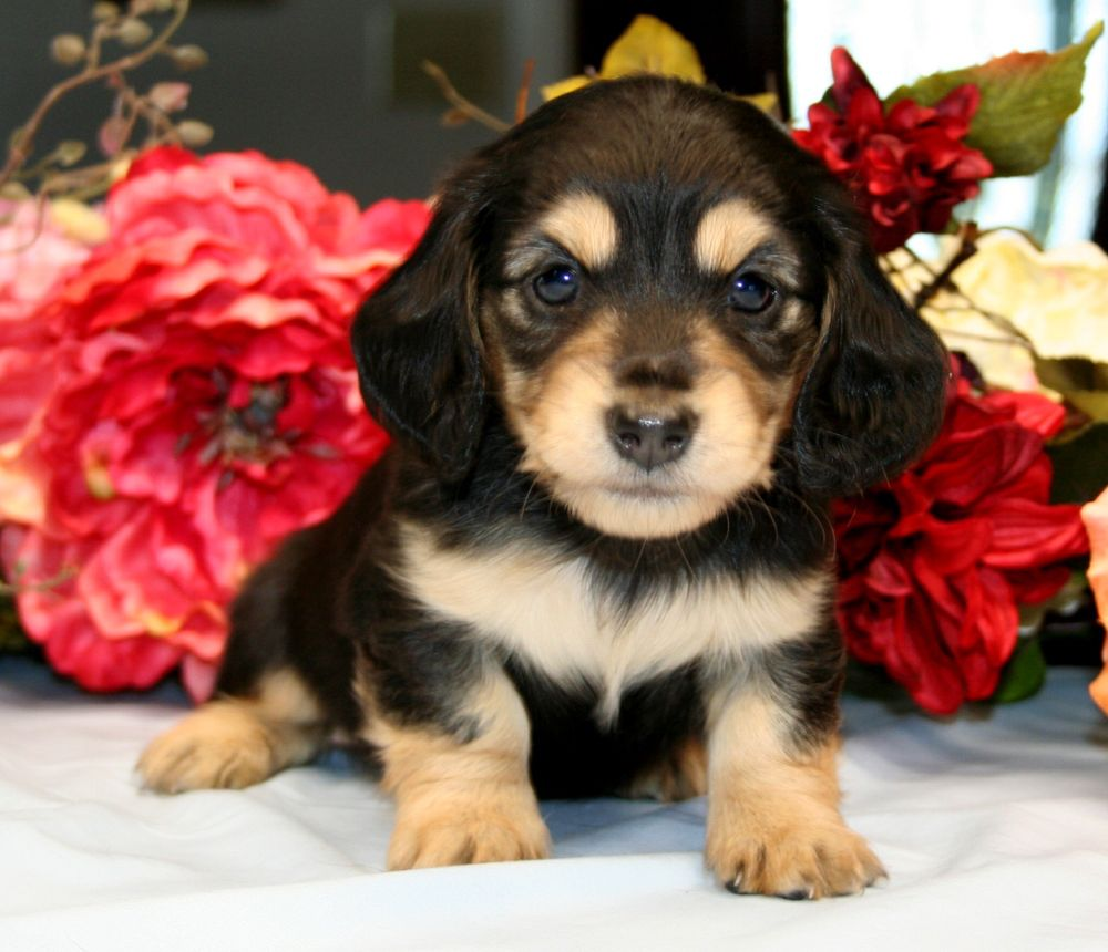 AAA Puppy Dogs: 2000 Scott Dr, Maricopa, CA