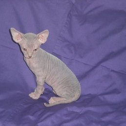 AAA Diamond Sphynx - Request a Quote - 25 Photos - Pet