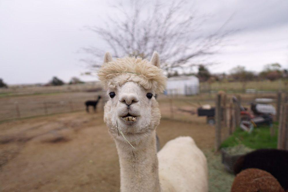 Ahh Sweet Alpacas: 7924 Charlotte Ln, Vacaville, CA