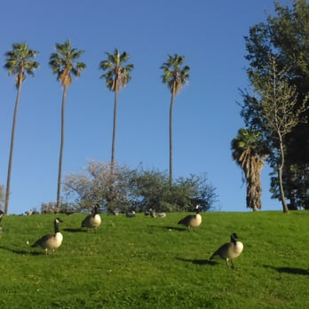 Photo Of Hollenbeck Park   Los Angeles, CA, United States. Canadian Geese  Resting