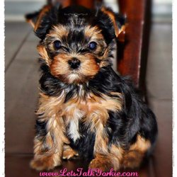 Let's Talk Yorkie - Pet Breeders - Bellmore, NY - Phone