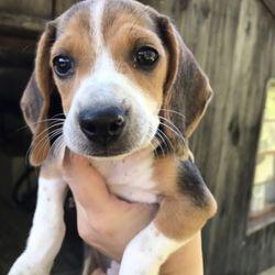 osage ridge beagles get quote pet breeders 505 osage ridge rd