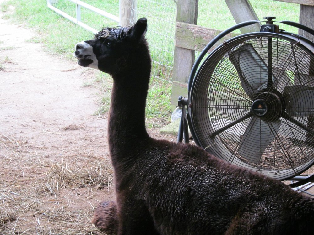 Alpaca Dreams: 2714 Schloss Rd, Louisburg, NC