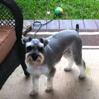 Miniature schnauzers houston