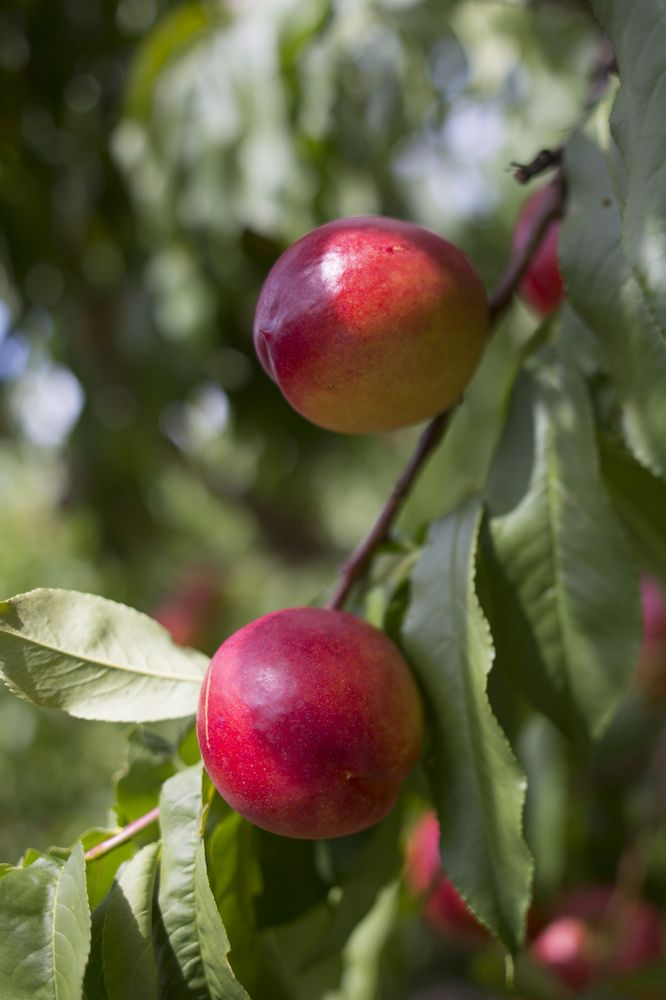 King Orchards: 4620 N M 88, Central Lake, MI