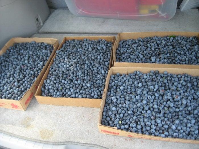 Nelson Blueberry Farm: 211 Blueberry Ln, Bridgeton, NC