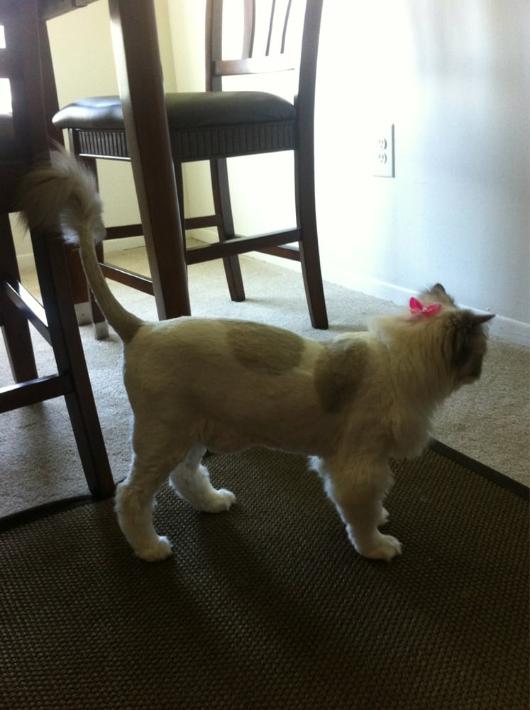Lion cut on my ragdoll awesome job yelp for 4 paws dog salon