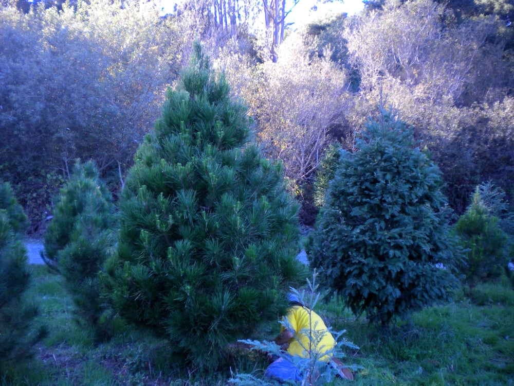 Courtneys Christmas Tree Farm: 16785 Little Hill Ln, Watsonville, CA