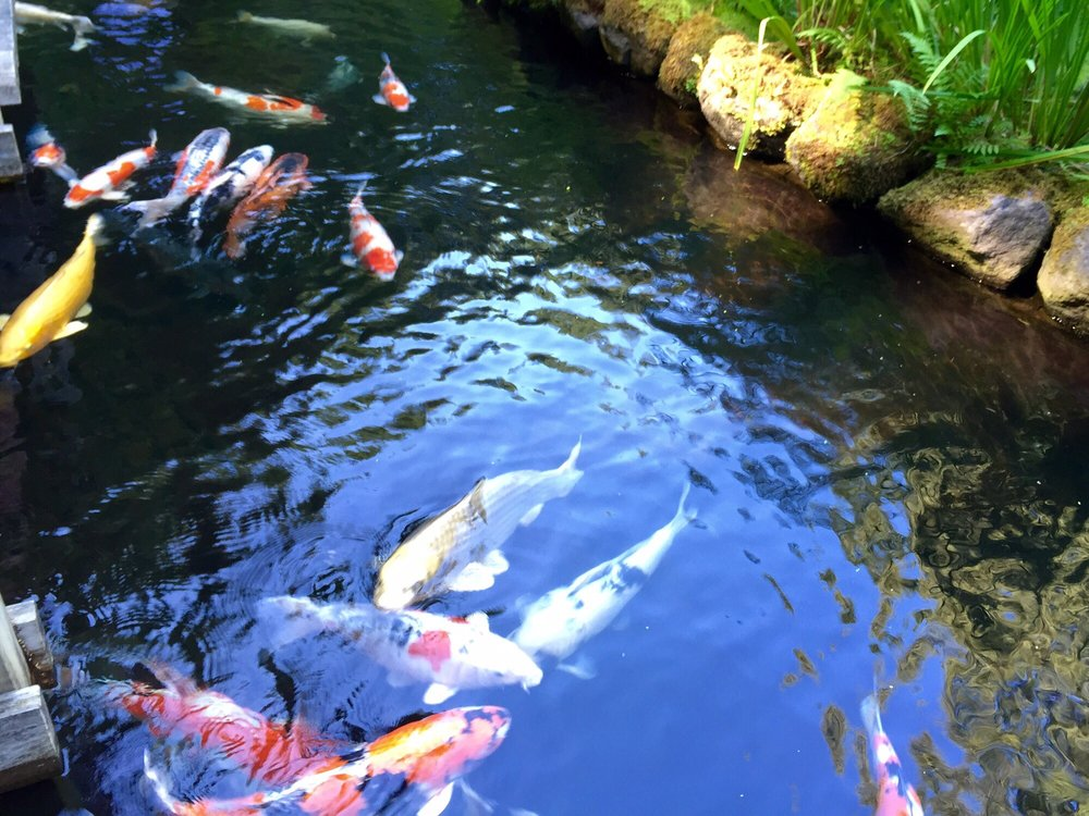 Colorful Koi Fish Swimming at the Portland Japanese Garden ... Japanese Koi Fish Swimming