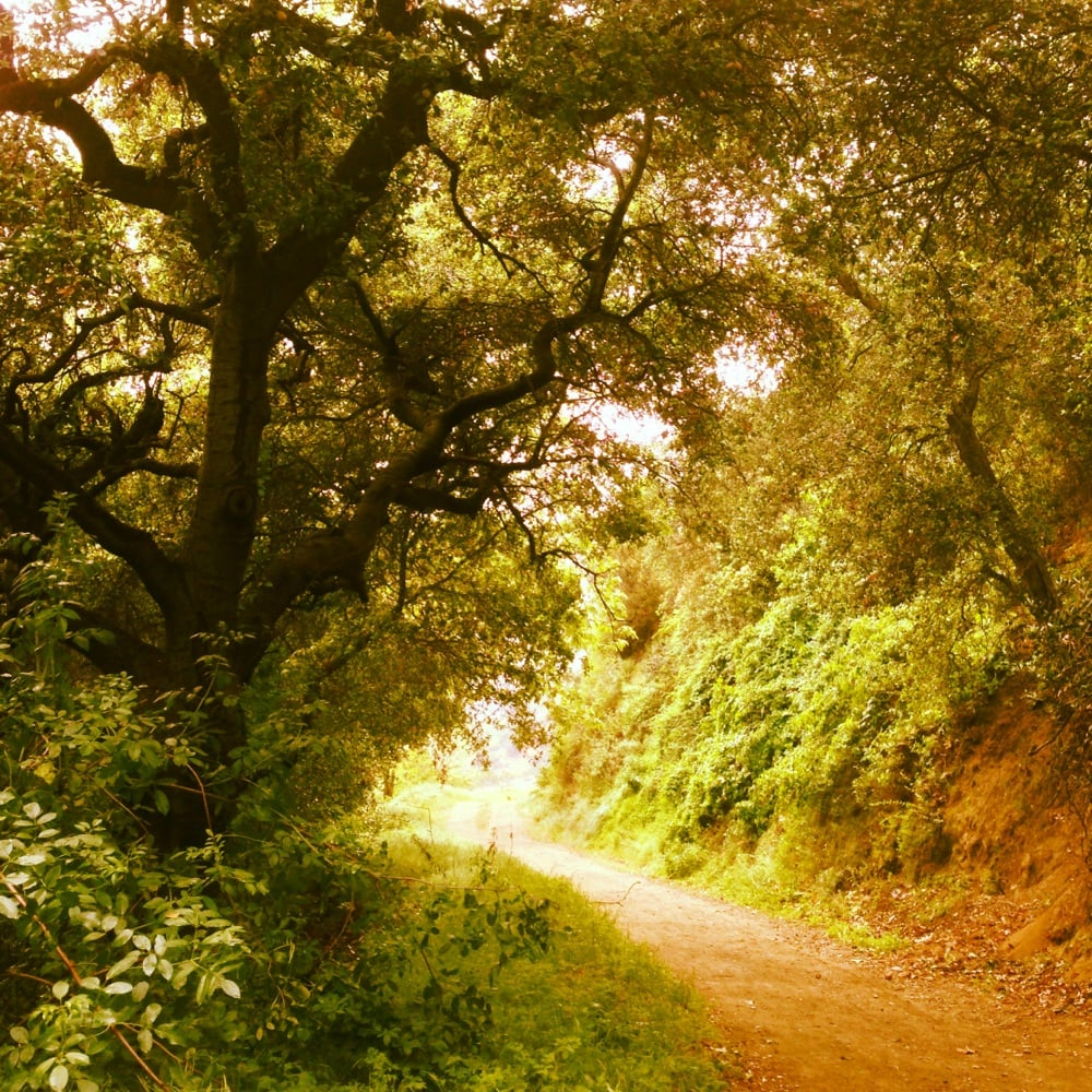 Oak trees line this trail (down hill)  Yelp