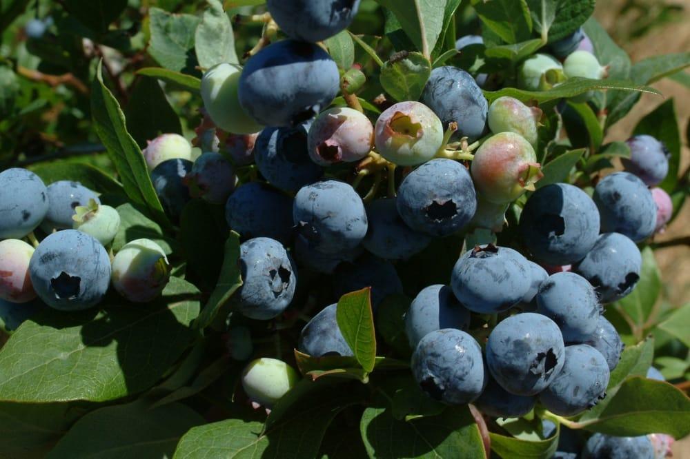 Billy Boy's Blueberry Barn: 650 Freyer Rd, Michigan City, IN
