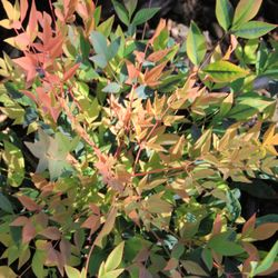 Photo Of Western Star Nurseries Sunol Ca United States Nandina Domestica