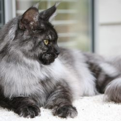 Coon-Kingdom Maine Coons - 19 Photos - Pet Breeders - Federal Way