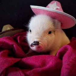 Precious Teacup Pigs 17 Photos Pet Breeders 361 Yates Rd