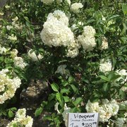 Photo Of Outdoor Environments Braselton Ga United States Viburnum