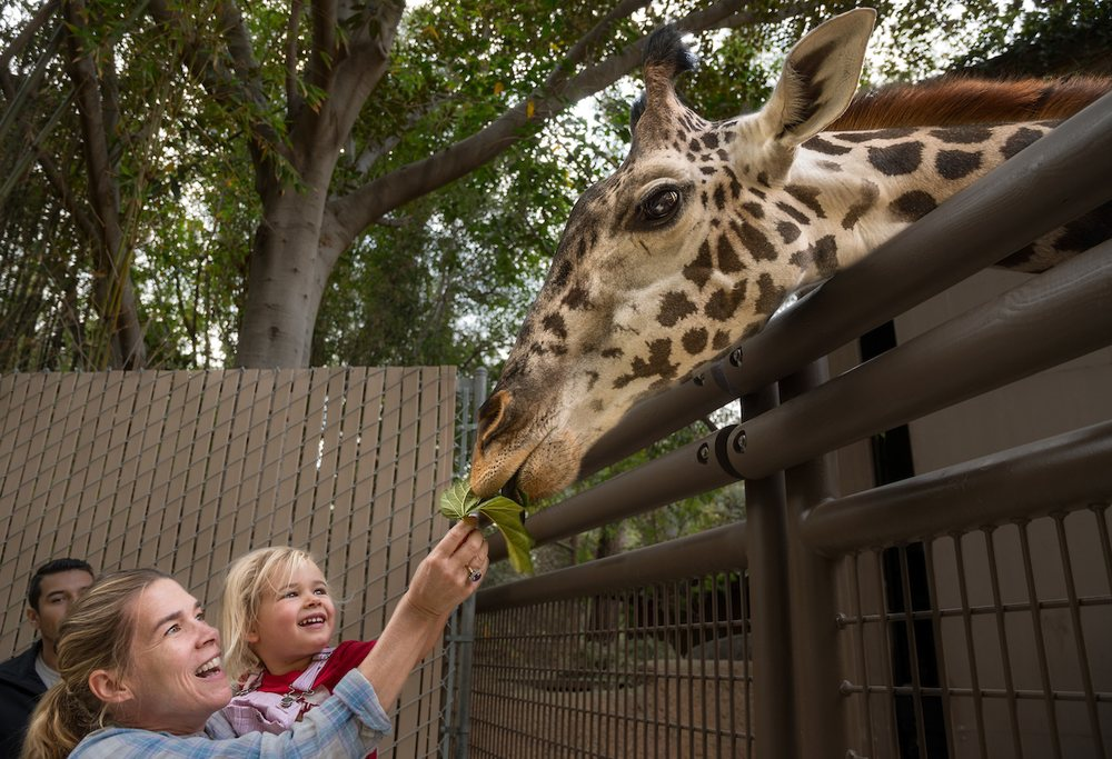 giraffe feedings occur daily from 11 a m  to 1 p m   u0026 2 to