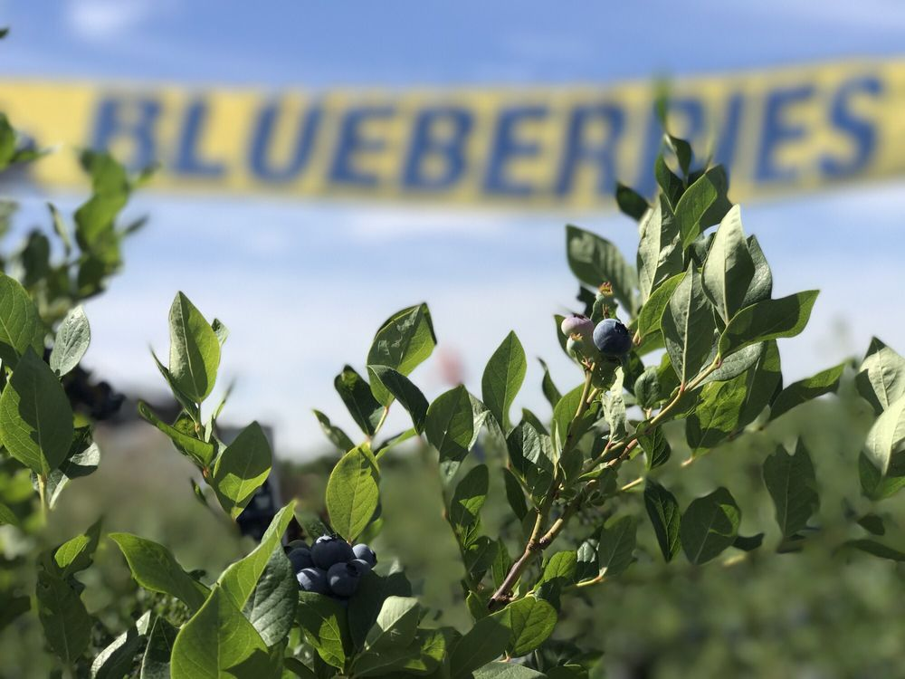 Blueberry Hill Berries: 1520 W Wapato Rd, Wapato, WA