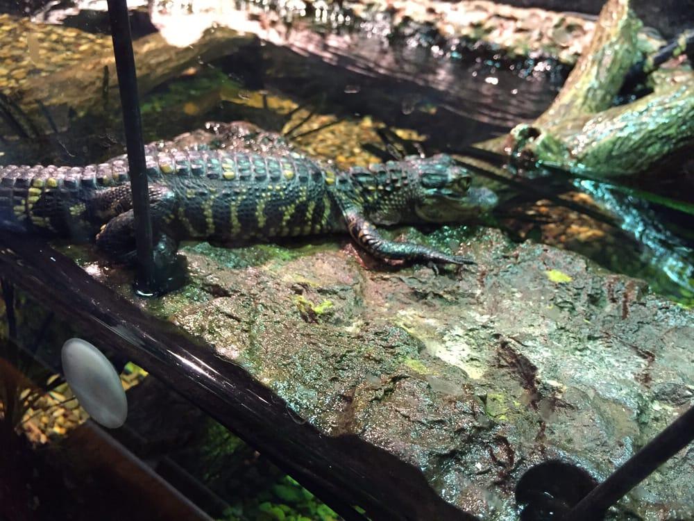 Baby Alligator Yelp