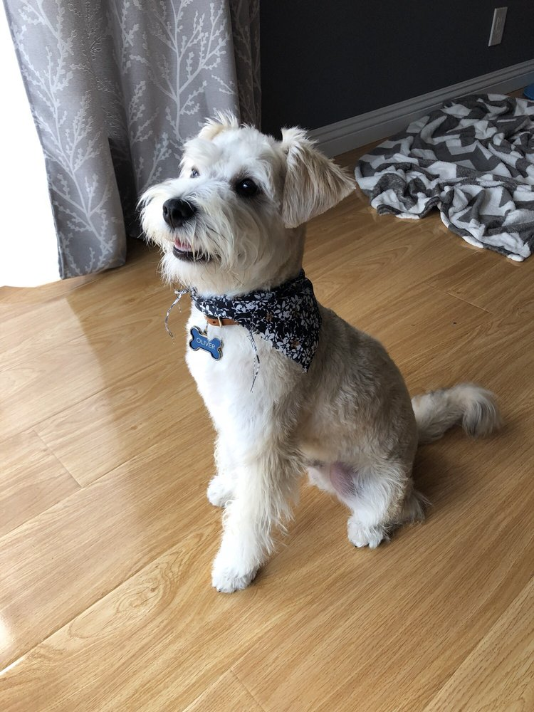 Oliver mini schnauzerbichon frise mix is loving his new haircut photo of bark bath self serve dog wash grooming costa mesa ca solutioingenieria Images