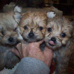 Connies Precious Puppies - Pet Breeders - Clyde, KS - Phone