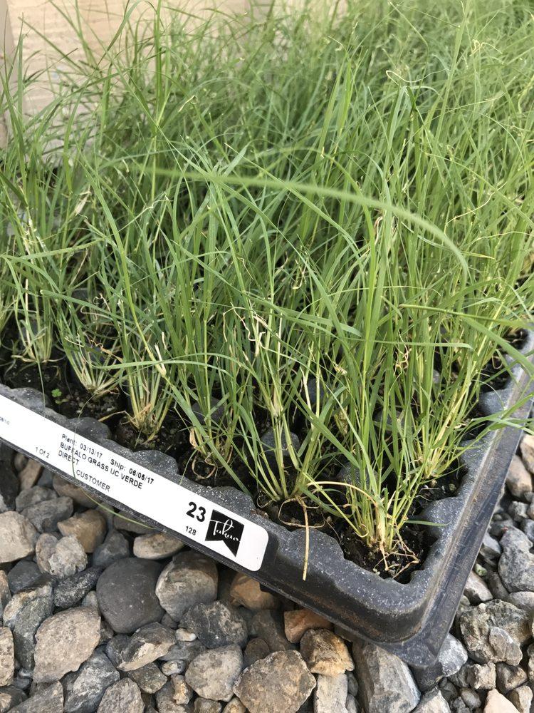 Takao Nursery - UC Verde Buffalograss