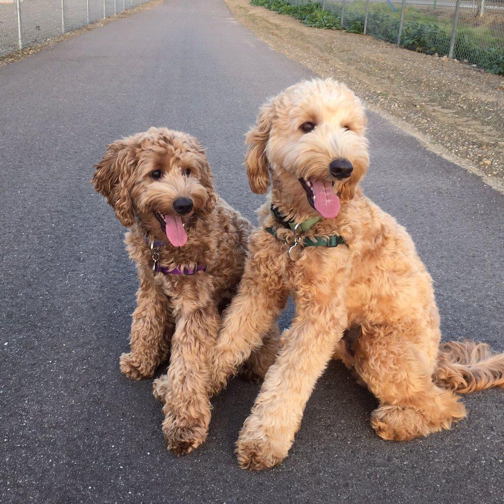 Double Doodles / Goldendoodles / Labradoodles Cutest puppy