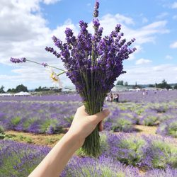 Oregon Lavender Farm - 26 Photos - Festivals - 20949 S Harris Rd