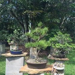Photo Of Dragon Tree Bonsai Palm City Fl United States Nice Pine