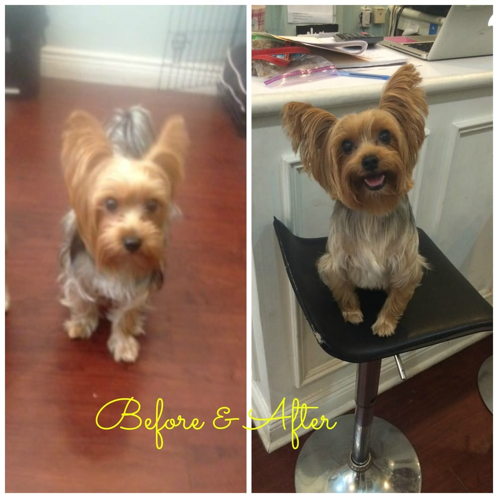 Chips Before And After Haircut For Yorkies Yelp