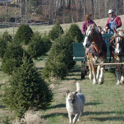 Photo Of Friendship Forest Christmas Tree Farm   Mechanicsville, MD, United  States. Lots