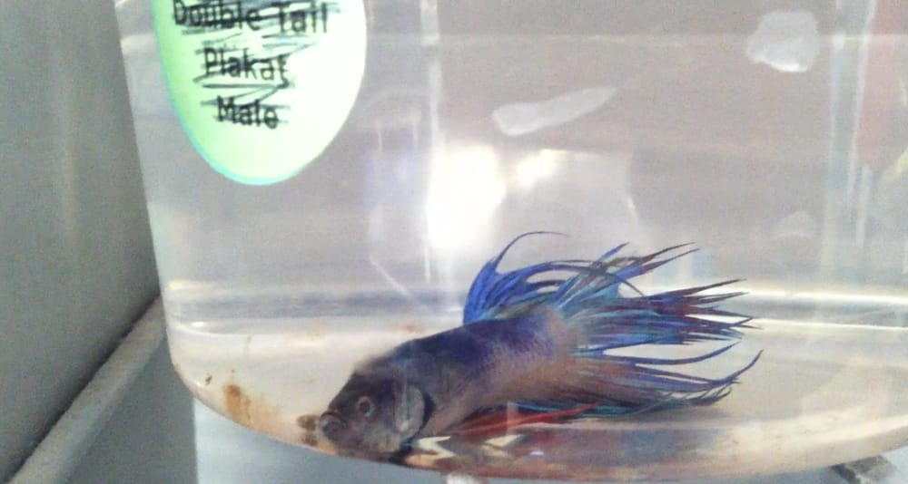 Dead betta in dirty water 8 11 12 yelp for Betta fish petco