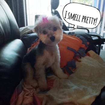 Sudzy puppy 13 photos 47 reviews pet groomers 417 e ogden photo of sudzy puppy naperville il united states penny the morkie after solutioingenieria Image collections