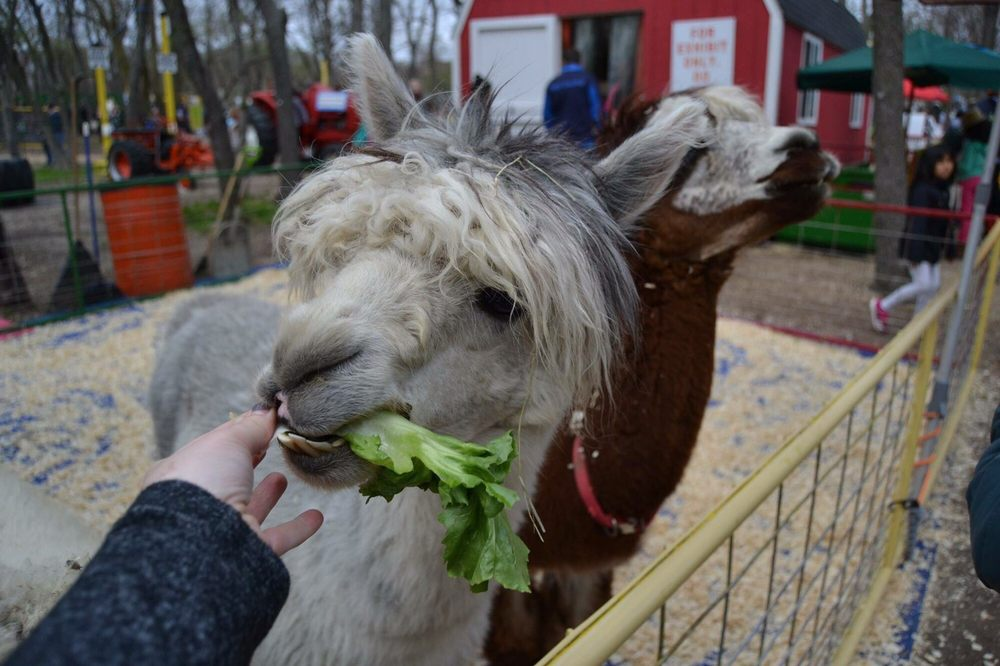 Feeding Alpacas In The Petting Zoo Yelp
