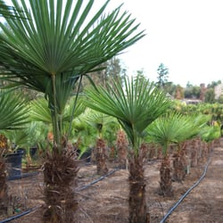 Photo Of Cal Coast Palms Nipomo Ca United States Field Grown Palm