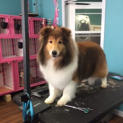 Photo of Austin Pet Stylist - Austin, TX, United States. Summer the Sheltie
