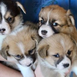 Terrific Corgi Home - 11 Photos - Pet Breeders - 4717 Norman Trl