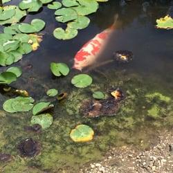 Photo Of Kawachinagano Japanese Garden   Carmel, IN, United States. HUGE  Koi Fish