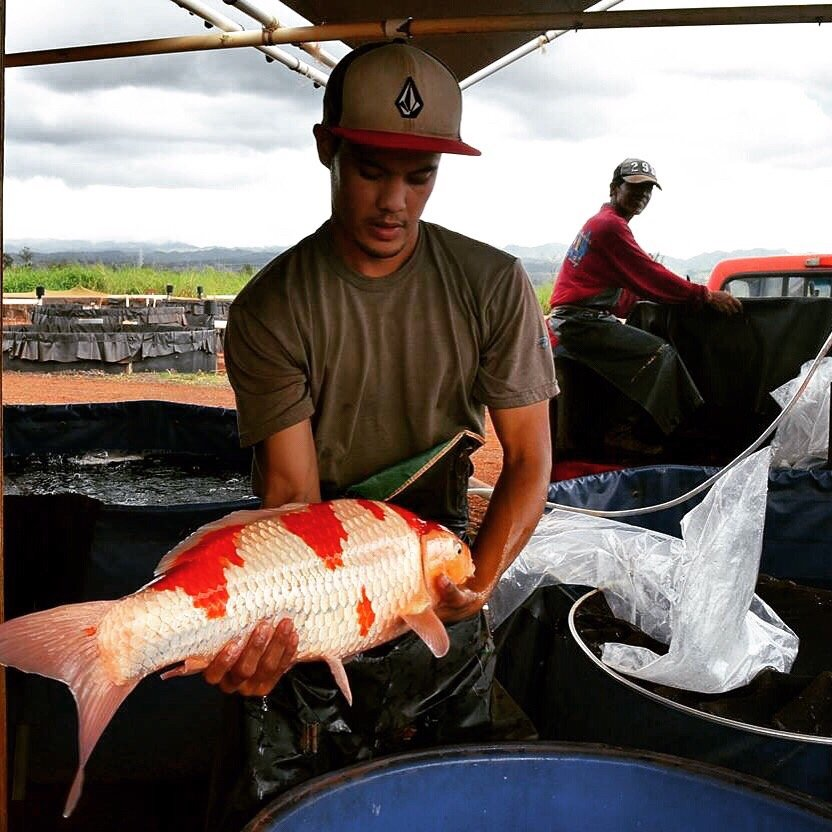 Hawaii koi ponds get quote aquarium services for Koi dealers near me