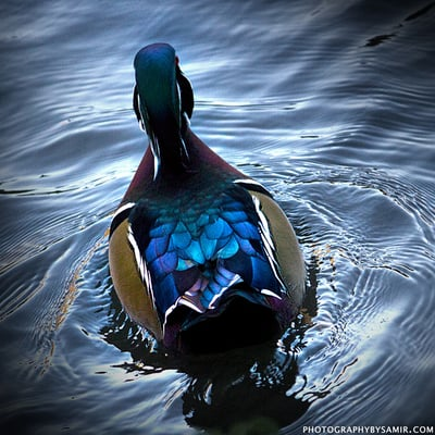 Blue Duck Y.