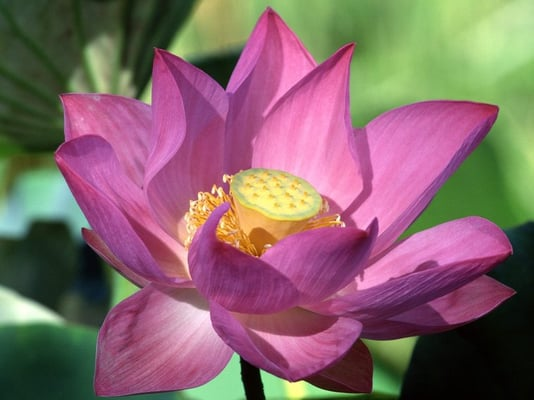 Purple Lotus x.
