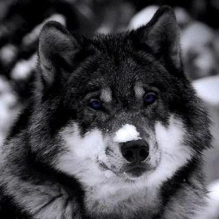 Wolf K E H.