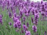 Lavender L.