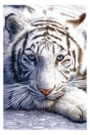 Tiger K.